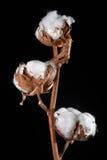 Filial med blommor för trädbomull Arkivbild