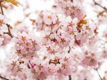 Filial med blomningar Sakura Överflödande blomningbuskar med rosa färger slår ut körsbärsröda blomningar Royaltyfri Foto