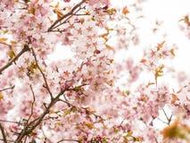 Filial med blomningar Sakura Överflödande blomningbuskar med rosa färger slår ut körsbärsröda blomningar Arkivfoto