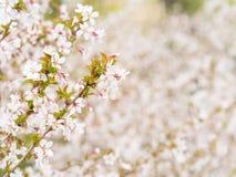 Filial med blomningar Sakura Överflödande blomningbuskar med rosa färger slår ut körsbärsröda blomningar på våren Royaltyfri Foto