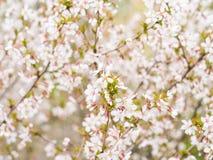 Filial med blomningar Sakura Överflödande blomningbuskar med rosa färger slår ut körsbärsröda blomningar på våren Royaltyfria Bilder
