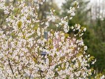 Filial med blomningar Sakura Överflödande blomningbuskar med rosa färger slår ut körsbärsröda blomningar på våren Fotografering för Bildbyråer