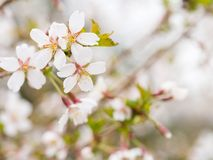 Filial med blomningar Sakura Överflödande blomningbuskar med rosa färger slår ut körsbärsröda blomningar på våren Arkivfoton