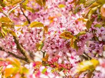 Filial med blomningar Sakura Överflödande blomningbuskar med rosa färger slår ut körsbärsröda blomningar på våren Royaltyfri Bild