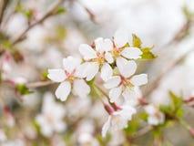 Filial med blomningar Sakura Fotografering för Bildbyråer