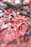 Filial med en rosa inflorescence av sakura Royaltyfri Fotografi