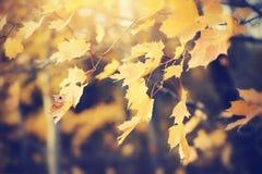 Filial med gula lönnlöv Royaltyfria Bilder