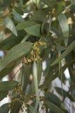 Filial med gumnut av eukalyptuns arkivfoton