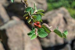 Filial med integerrimus för Cotoneaster för blommaknoppar, 'gemensam cotoneaster ', 'Gewöhnliche Zwergmispel ', 'Cotonéaster comm royaltyfria foton
