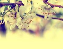 Filial med körsbärsröda blommor Royaltyfri Bild
