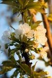 Filial med körsbärsröda blomningar Royaltyfri Foto