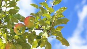 Filial med mogna äpplen mot den blåa himlen lager videofilmer
