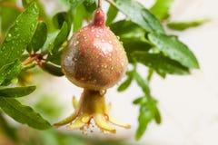 Filial med mogna granatäpplefrukt- och gräsplansidor Royaltyfri Bild