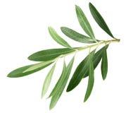 Filial med olivsidor som isoleras på en vit bakgrund Royaltyfri Bild