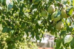 Filial med päron, trädgård Arkivbild