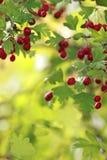Filial med röda bär, tänd baksida Royaltyfri Bild