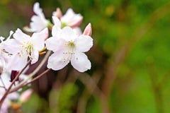 Filial med vita blommor mot bakgrund för grönt gräs arkivfoto