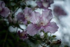 Filial med vita och rosa petunior royaltyfria bilder