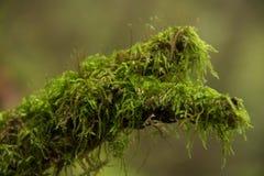 Filial Mossy Imagens de Stock