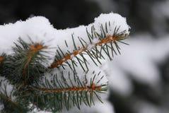 Filial nevado Fotos de Stock