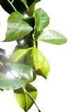 Filial nova do limão Foto de Stock