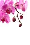 Filial roxa da orquídea isolada no branco Fotos de Stock Royalty Free