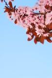 Filial Sakura för körsbärsrött träd med blomningar och blå himmel Arkivbild