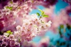 Filial Sakura Pink Cherry Blossoms mot klar blå himmel Arkivfoto