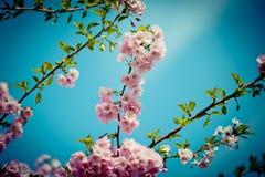 Filial Sakura Pink Cherry Blossoms mot klar blå himmel Arkivfoton