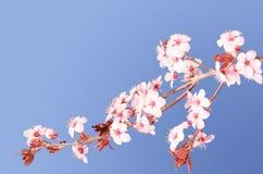Filial Sakura rosa japansk för körsbärsröd blomning Fotografering för Bildbyråer