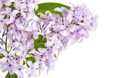 Filial som blommar lilan med blommor som isoleras på vit bakgrund royaltyfri fotografi
