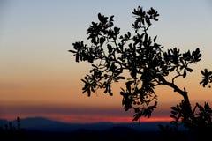 Filial som ser till soluppgången Arkivfoto
