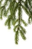 Filial Spruce Fotografia de Stock