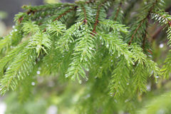 Filial Spruce Foto de Stock Royalty Free