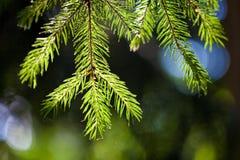 Filial Spruce Foto de Stock