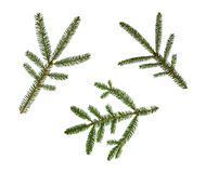 Filial Spruce Imagem de Stock