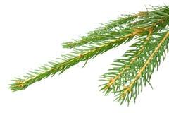 Filial Spruce Imagens de Stock