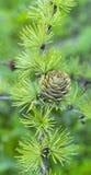 Filial Spruce com cones Fotografia de Stock Royalty Free