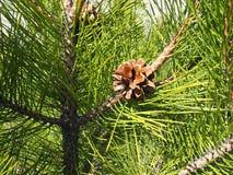 Filial Spruce com cones Foto de Stock Royalty Free