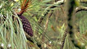 Filial Spruce com cones Colagem feita de ramos do abeto com cones Pinecones cones Imagens de Stock Royalty Free