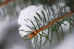 Filial Spruce com neve Imagens de Stock