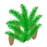 Filial Spruce com os cones isolados Imagens de Stock Royalty Free