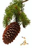 Filial Spruce do cone. Foto de Stock