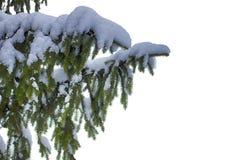 Filial Spruce Nenhum fundo, objeto isolado evergreen Elemento para o projeto fotografia de stock