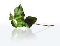 Filial verde Fotografia de Stock Royalty Free