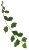 Filial verde das folhas Fotos de Stock Royalty Free