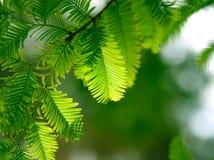 Filial verde do abeto em uma floresta Fotografia de Stock