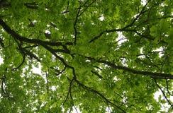 Filial verde do carvalho fotografia de stock