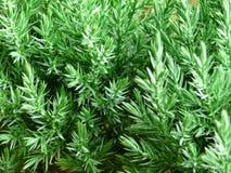 Filial verde fresca da árvore de pinho Fotografia de Stock