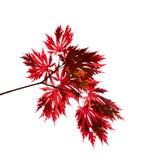 Filial vermelha do bordo do outono em um fundo branco Foto de Stock Royalty Free